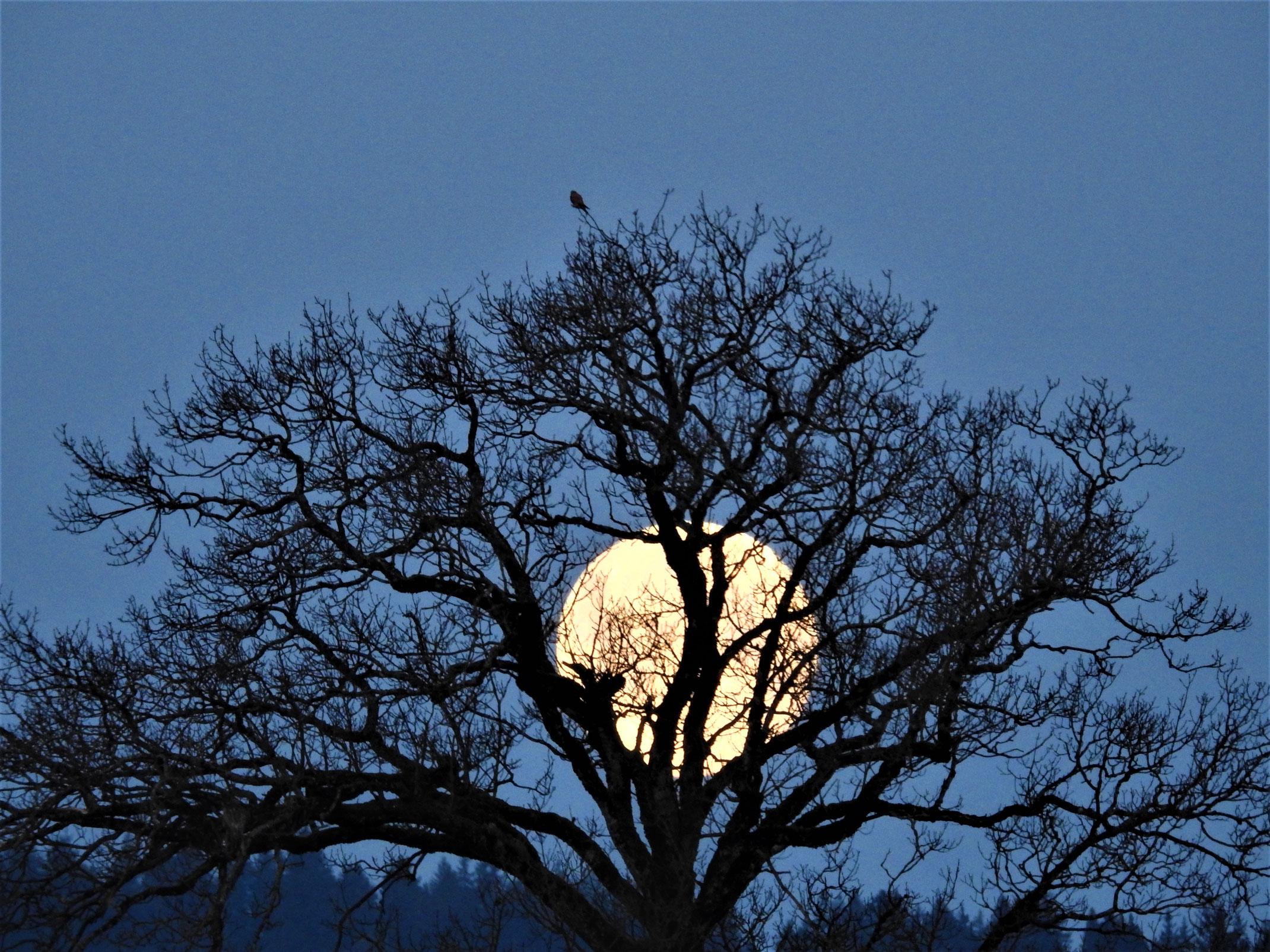 Vollmond hinter einem Baum